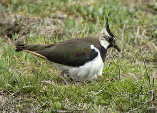 lapwing with eggs462 (83)