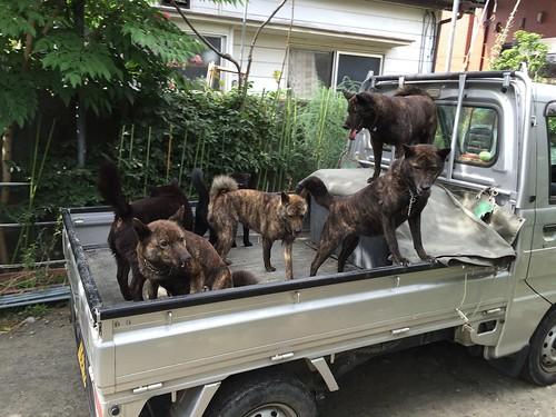 お散歩に行く甲斐犬たち
