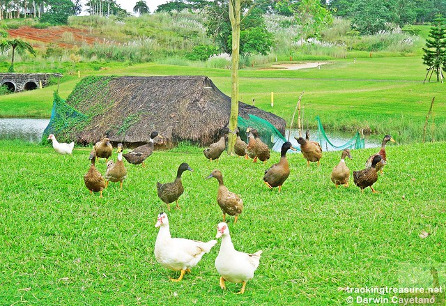 4 Caliraya Mountain Spring Duck Feeding