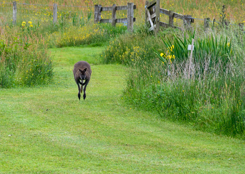 Wallaby seen  at Lethytep at Penadlake, Lanreath near Looe June 2016