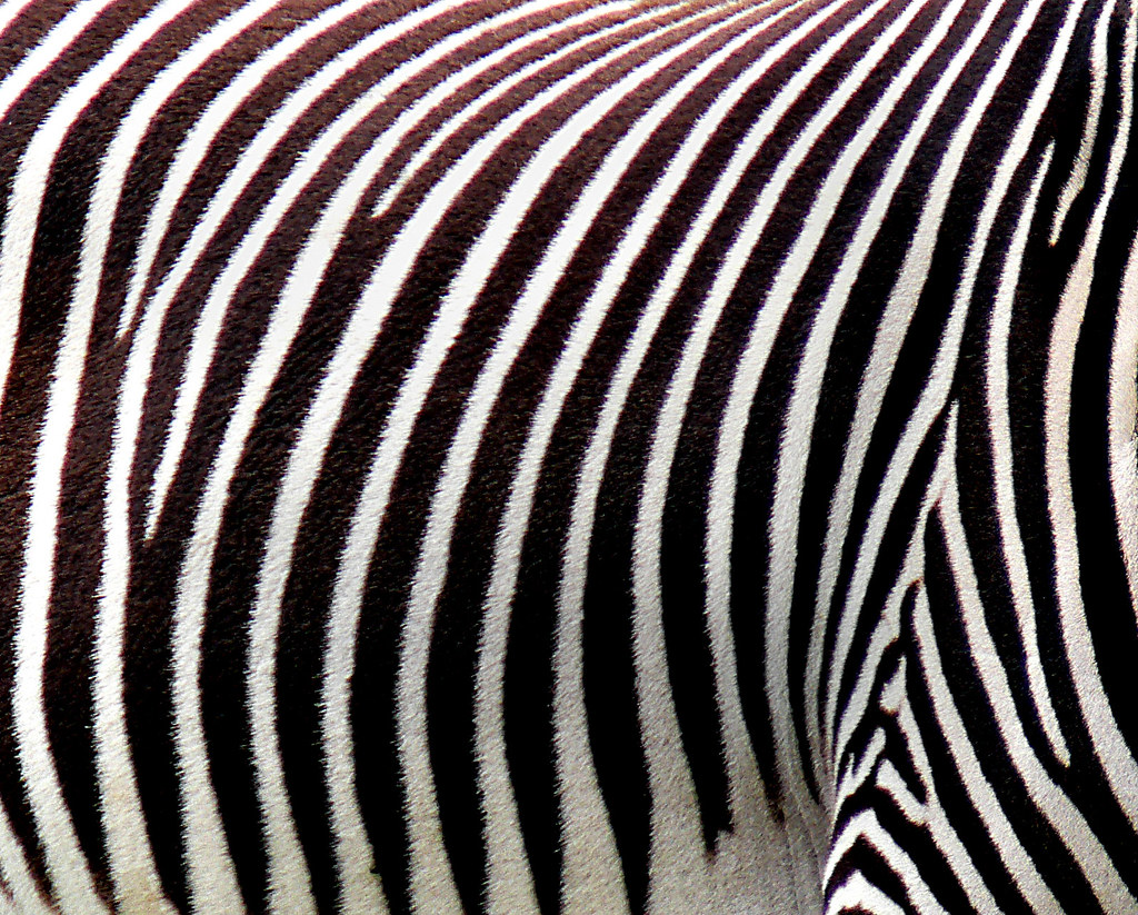 Zebra Plains Zebras Have A Wide Range In East And Souther Flickr