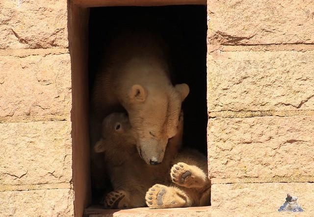 Eisbär Fiete im Zoo Rostock 23.05.2015 75