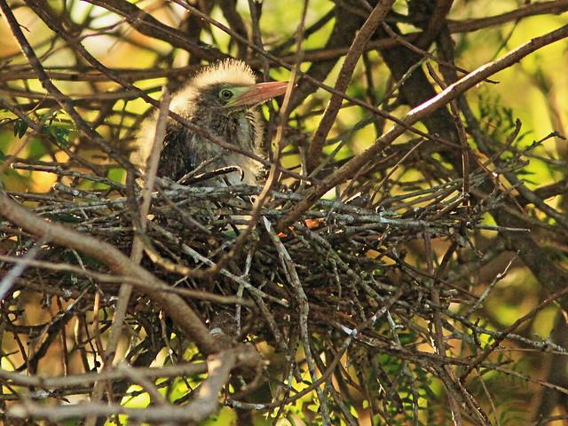 Green Heron nestling 20150529