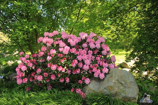 Britzer Garten Tulipan 15.05.2015  38