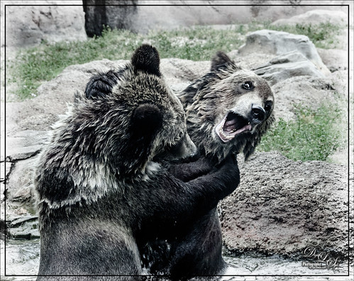 Image of two Grizzlies playing at the West Palm Beach Zoo
