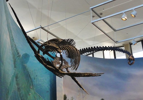 Image shows an elasmosaur skeleton suspended from a ceiling, with a mural of swimming elasmosaurs behind it. Its long neck is curved back toward us, with its jaws open. Its body is rather round, with enormous ribs.