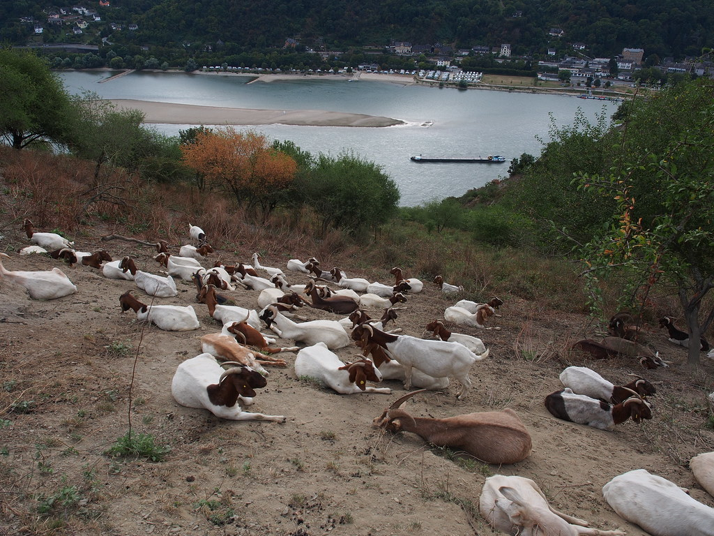 Goats on the banks of the river Rhine, near Kaub - September 2016 © Thomas Wiegold