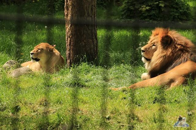 Eisbär Fiete im Zoo Rostock 24.05.2015 159