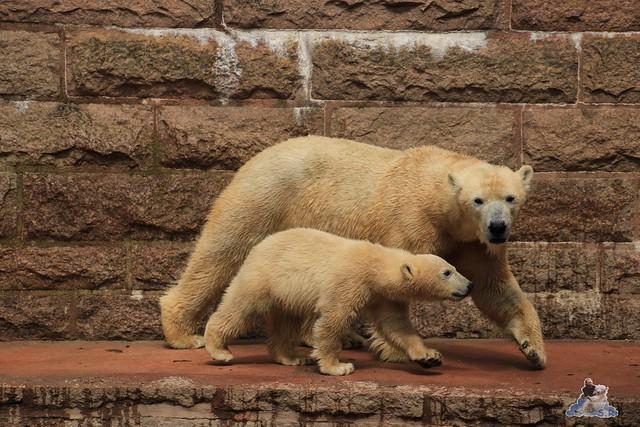 Eisbär Fiete im Zoo Rostock 24.05.2015 224