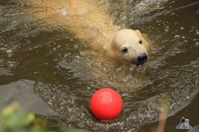 Eisbär Fiete im Zoo Rostock 24.05.2015 86