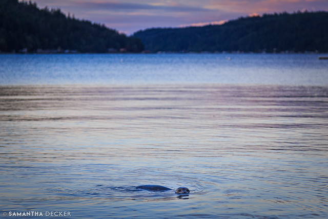 A Seal in the Hood Canal