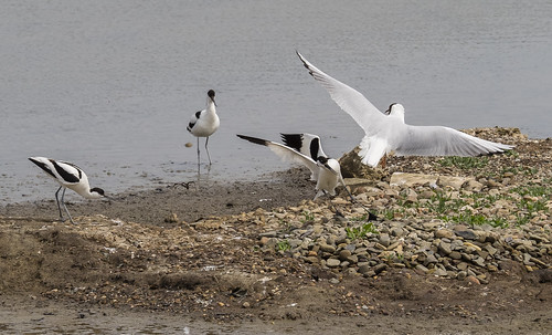 avocets attacking a gull 462 (19)