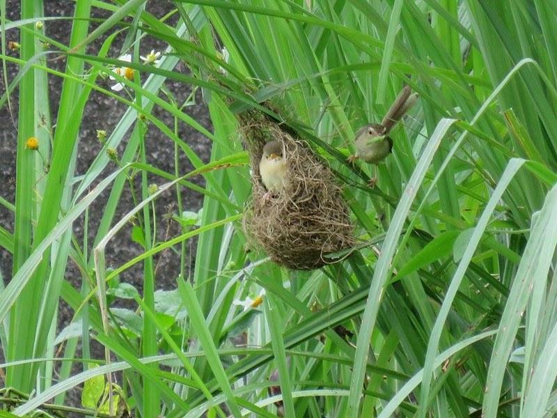 最後,巢周邊芒草被處理的光禿禿,巢整個曝露出來,拍鳥人就可以盡情的拍攝親鳥餵食的畫面了!