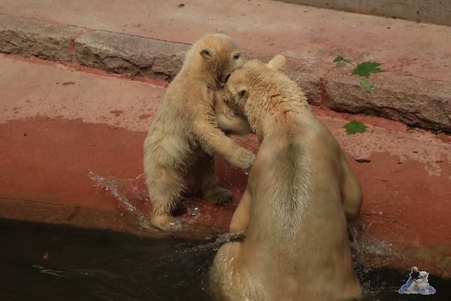 Eisbär Fiete im Zoo Rostock 24.05.2015 204