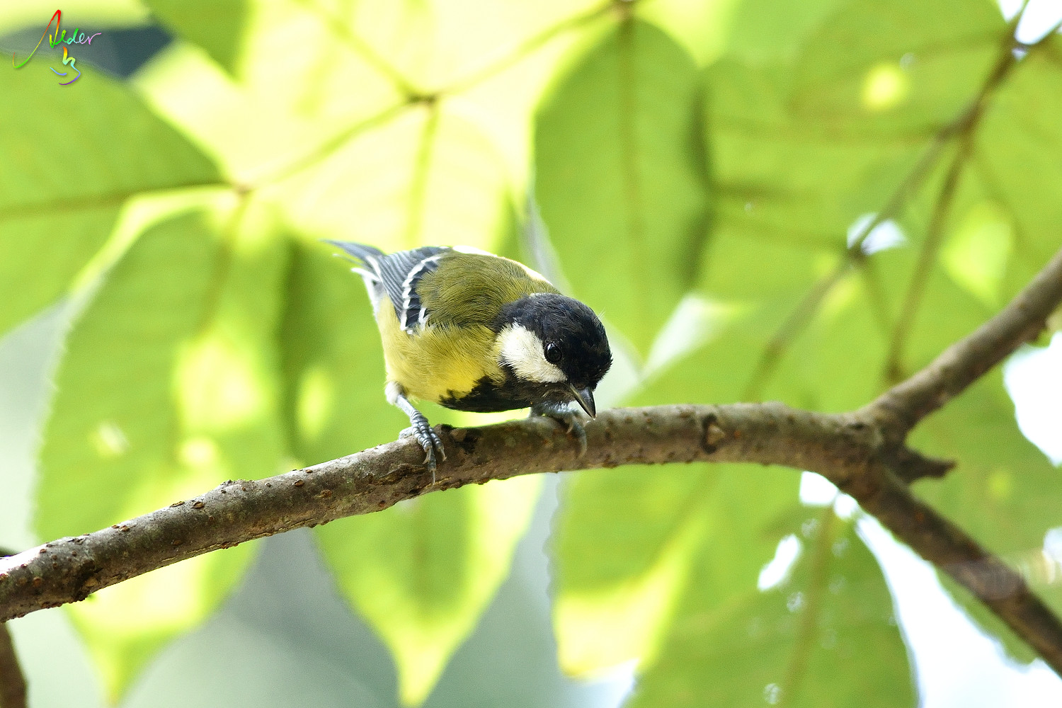 Green-backed_Tit_7525