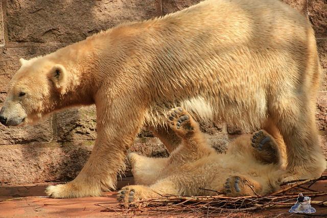 Eisbär Fiete im Zoo Rostock 03.05.2015  101