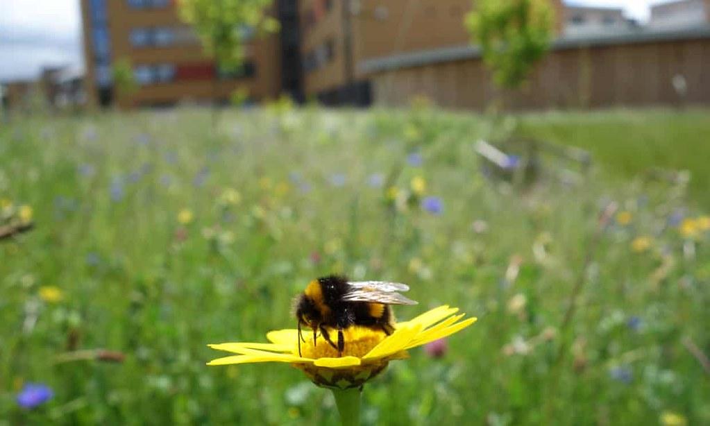 城市裡的蜂類。圖片來源:Nadine Mitschunas/University of Bristol