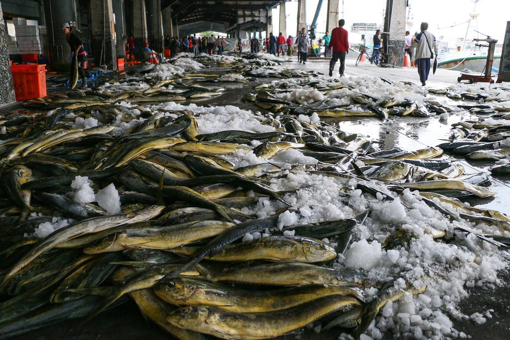 鬼頭刀是台東新港的重要漁獲之一