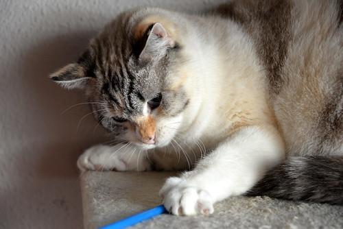 Aruba, gata cruce siamesa dulzona y muy guapa esterilizada, nacida en Agosto´17, en adopción. Valencia.  31534545907_1ff6eebaf3