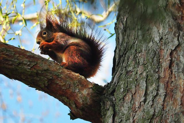 14. Februar 2019_Waldfriedhof Mannheim-Rheinau_Das Eichhörnchen findet unsere Walnuss Der Himmel über dem Waldfriedhof Mannheim-Rheinau am 14. Februar 2019 ... Kiefernwäldchen ... Fotos: Brigitte Stolle