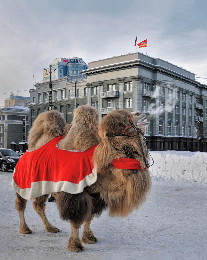 фотограф Челябинск - верблюд - парнокопытное животное, изображение украшает герб и флаг города Челябинск