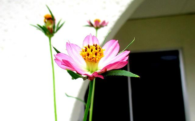 Ulam raja flower