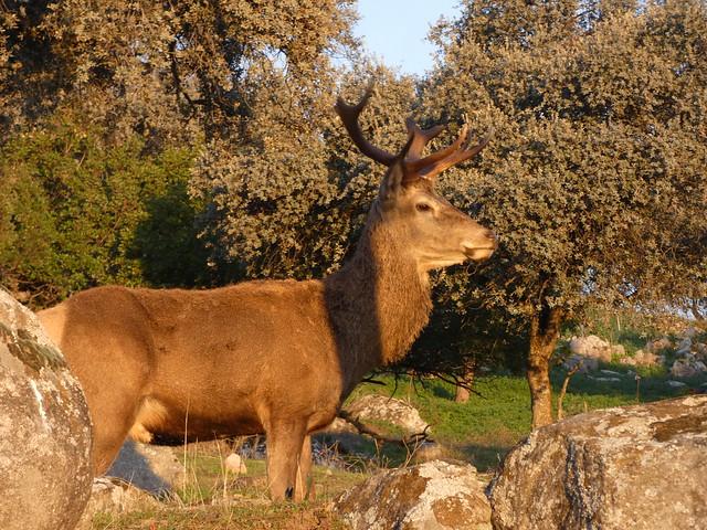 Ciervo en la Sierra de Andújar (Jaén)