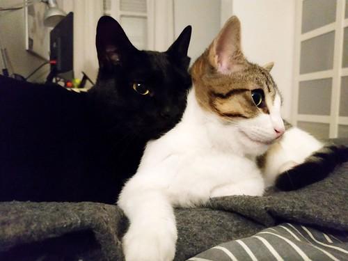 Morris, gatito blanquipardo muy guapo y activo nacido en Octubre´18, en adopción. Valencia. ADOPTADO. 40069872863_94df46d630