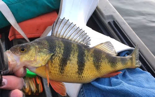 Photo of man holding yellow perch