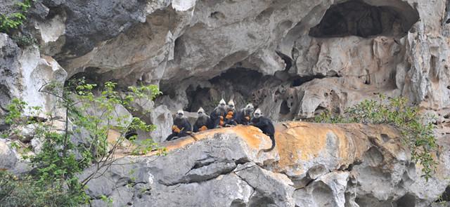 喀斯特精靈─白頭葉猴,屬中國一級保護動