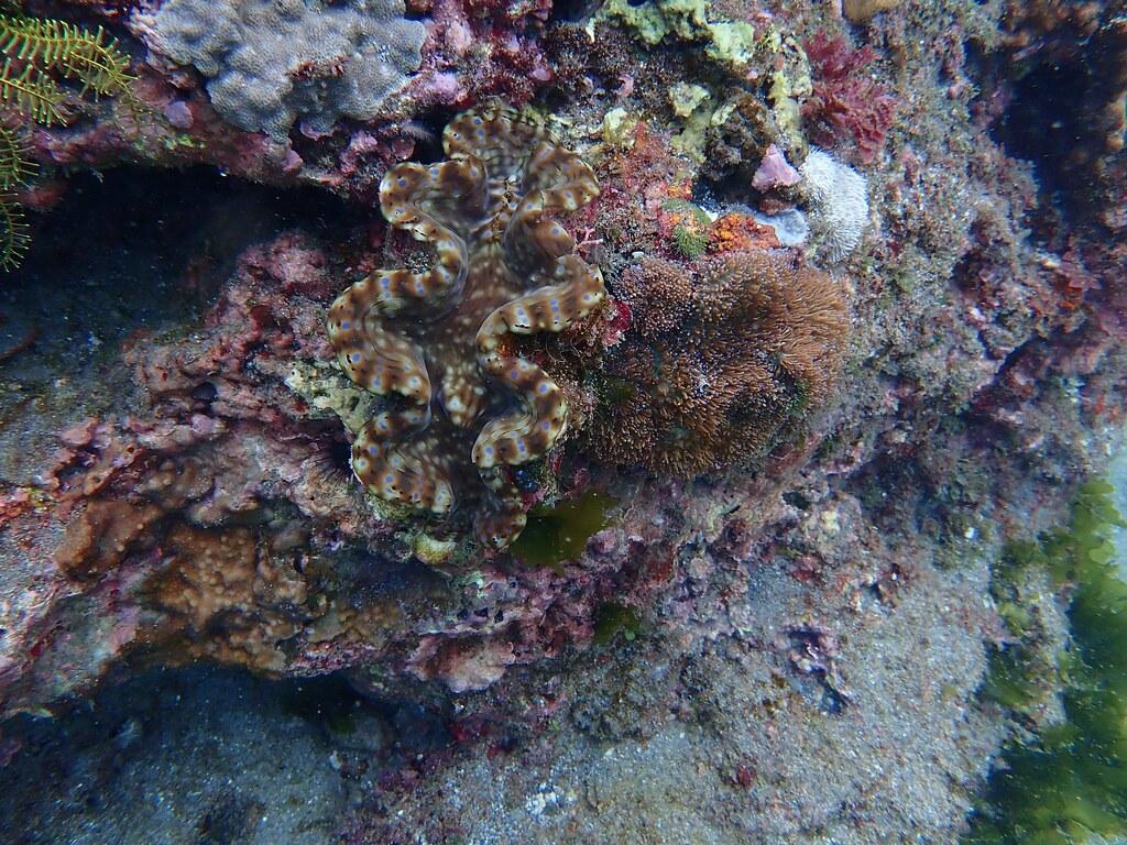 台東基翬海岸發現體型約20公分的硨磲貝。圖片來源:台灣環境資訊協會。