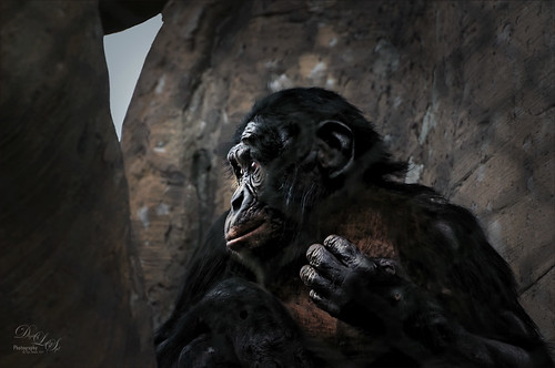 Image of a Bonobo Monkey at the Jacksonville Zoo