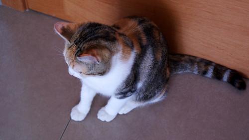 Zoe, gatita tricolor jaspeada divertida y guapa esterilizada, nacida en Septiembre´18, en adopción. Valencia. 46426549134_ee8ce04228