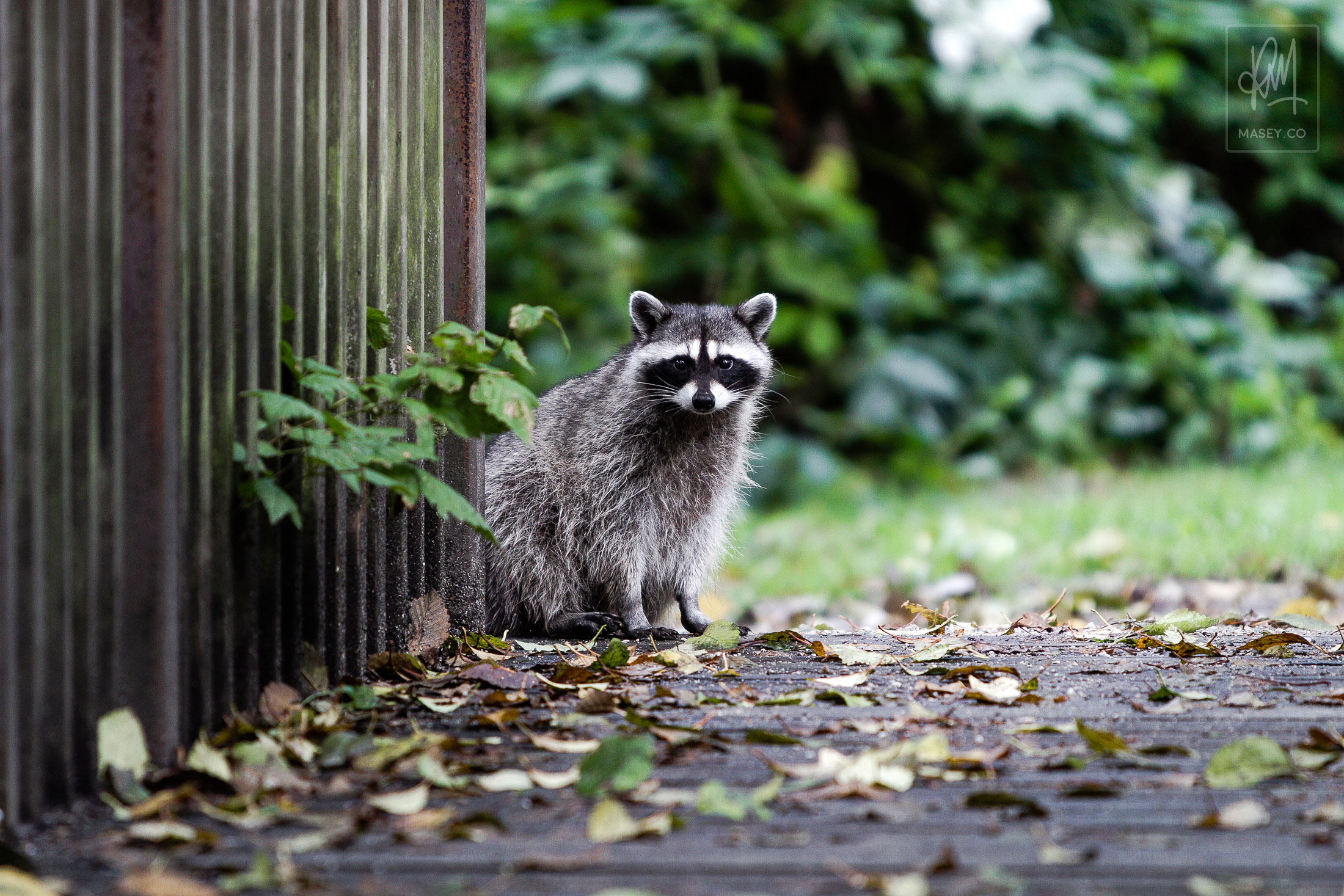 A Stanley Park, Lost Lagoon Raccoon