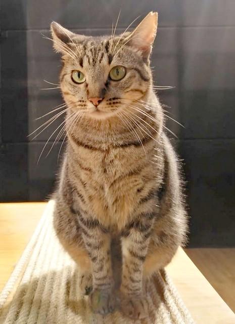 Ava, gata parda muy dulce y buena esterilizada, nacida en Enero´17, en adopción Valencia. RESERVADA. 46423494162_de23ca9e98_z