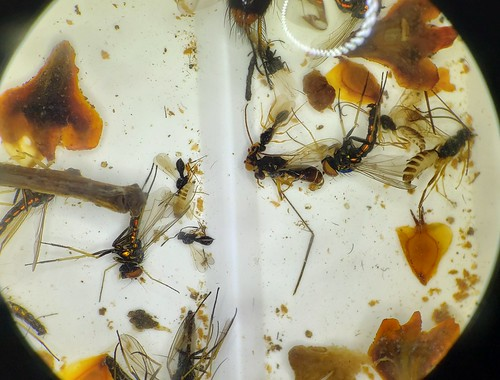 insects, mainly flies, in alcohol in a plastic dish