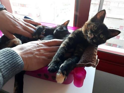 Magda, gatita carey muy mimosa y divertida nacida en Sept´18, en adopción. Valencia. ADOPTADA. 45655484545_d431633bff