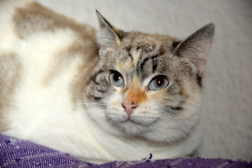 Aruba, gata cruce siamesa dulzona y muy guapa esterilizada, nacida en Agosto´17, en adopción. Valencia.  46423472552_bc0c62a6d2