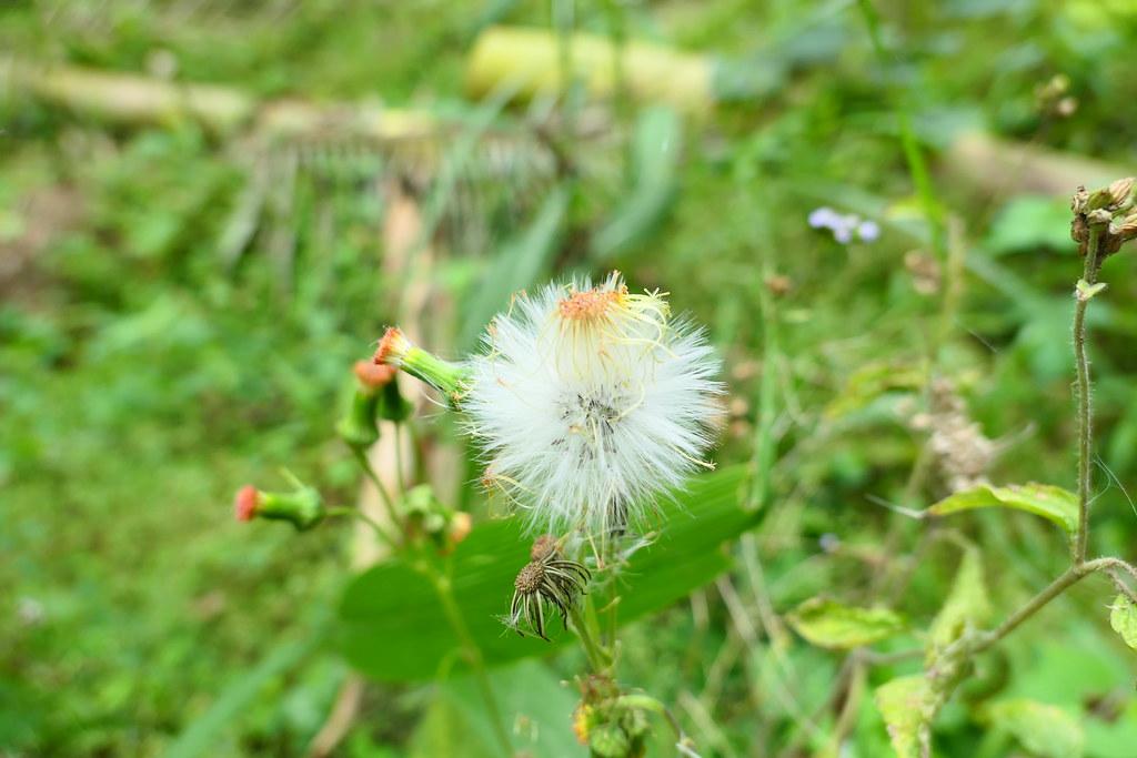 成熟以後,昭和草的花便會逐漸由紅轉白,最終脹破花萼並形成白絮棉球狀,四處隨風而起,飛散各地。