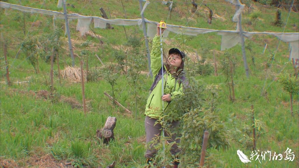 林務局在收回後砍除果樹樹冠,種植本土樹苗,並定期派員來觀察林木存活率和病蟲害狀況。