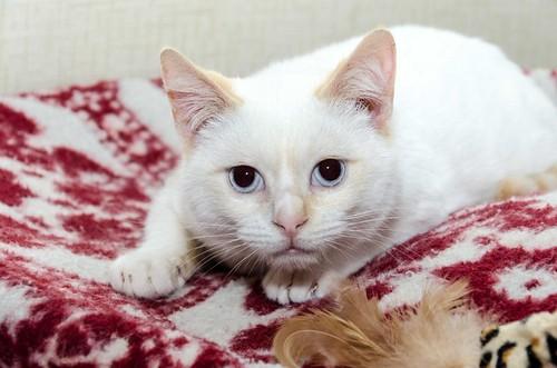 Corinto, gatito siamés Red Point muy guapo, esterilizado tímido y bueno nacido en Octubre´18, en adopción. Valencia. 47150224381_17790d7f96