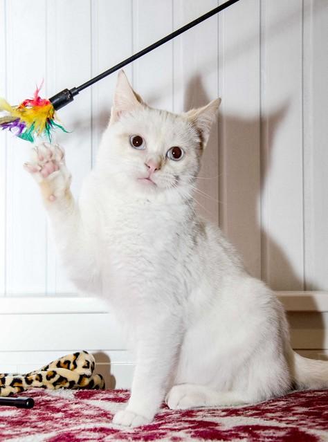 Corinto, gatito siamés Red Point muy guapo, esterilizado tímido y bueno nacido en Octubre´18, en adopción. Valencia. 33274923858_2cfaf002cc_z