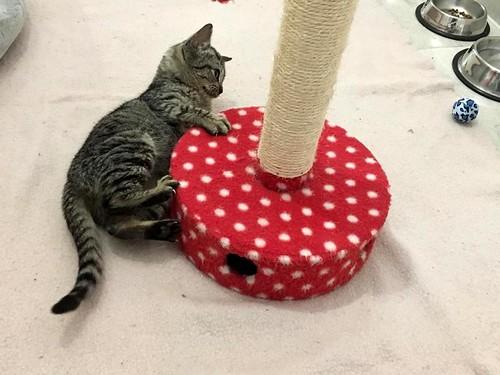 Candy, gatita parda confiada y amorosa nacida en Septiembre´18, en adopción. Valencia. ADOPTADA. 44715649930_bdb8b50712