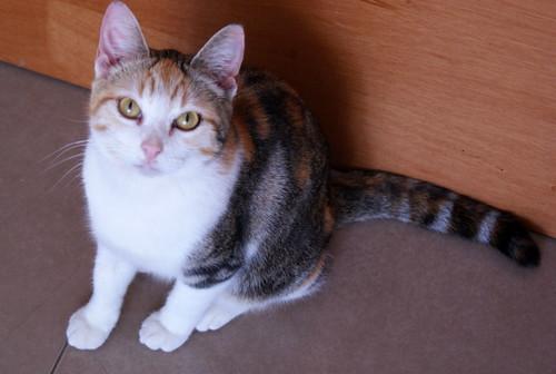 Zoe, gatita tricolor jaspeada divertida y guapa esterilizada, nacida en Septiembre´18, en adopción. Valencia. 33274711998_641e130470