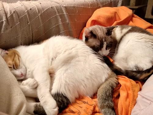 Ummi, gata Siamesa tricolor muy dulce y juguetona tímida nacida en 2013, en adopción. Valencia. ADOPTADA. 44666943390_7f572754bb