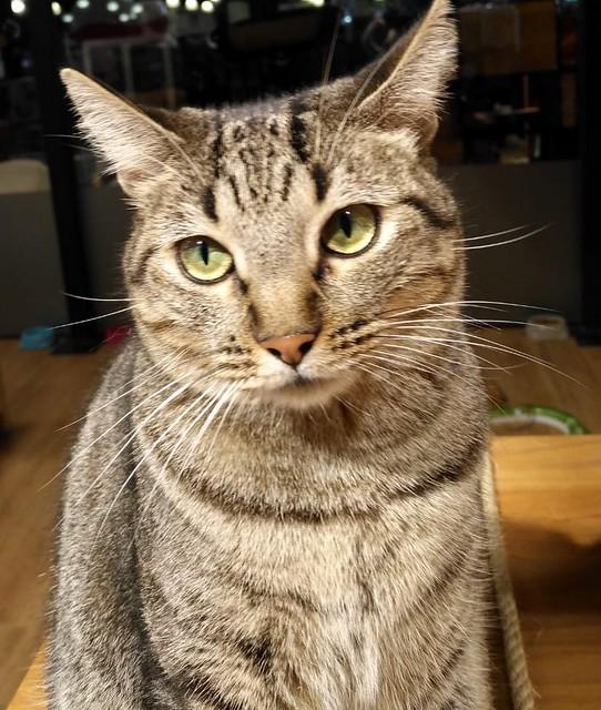 Ava, gata parda muy dulce y buena esterilizada, nacida en Enero´17, en adopción Valencia. RESERVADA. 45561378325_56e8ebaacf_z