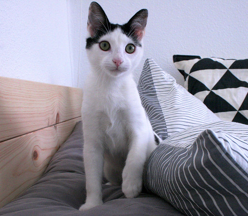 Morad, gatito blanco con toques negros muy juguetón nacido en Octubre´18, en adopción. Valencia. 33109618218_c296703a5f