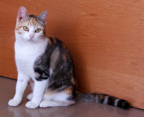 Zoe, gatita tricolor jaspeada divertida y guapa esterilizada, nacida en Septiembre´18, en adopción. Valencia. 33274712398_b8ea620a35