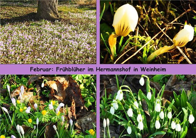 Februar 2019 ... Hermannshof Weinheim ... Frühblüher: Krokus, Schneeglöckchen, Winterling, Alpenveilchen, blühender Rosmarin ... Blütenmeer, Elfenkrokus, Krokusteppich ... Fotos: Brigitte Stolle
