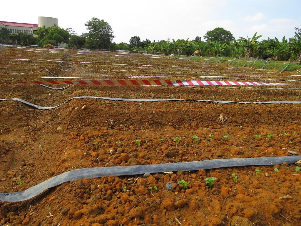 屏東科技大學農園生產系的有機黃豆田,採滴灌節省用水並限制雜草生長,反光條則有助於減緩鳥害。